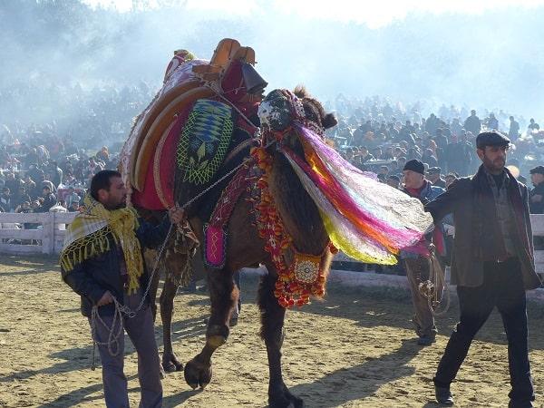 camel wrestling