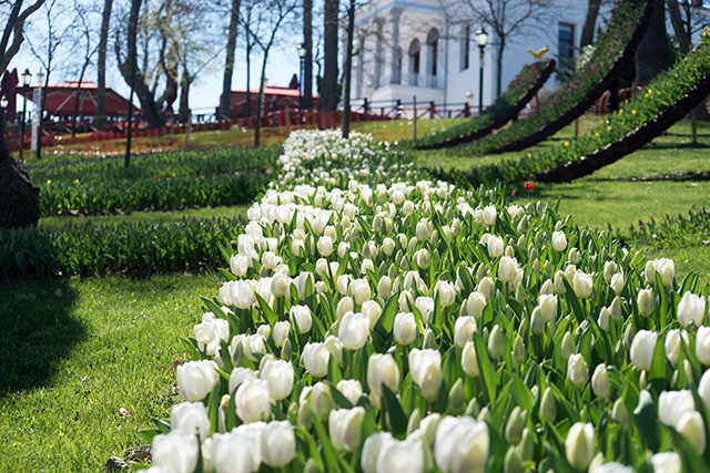 Tulip Festival in Full Bloom